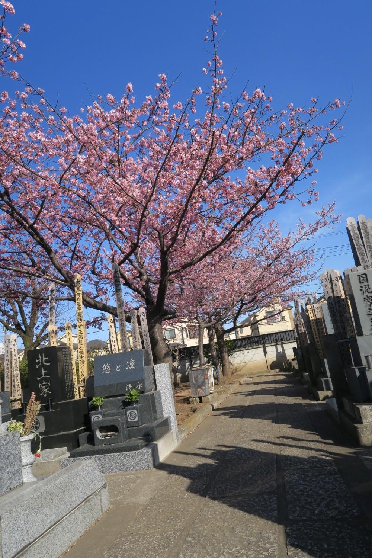 가와즈 벚꽃이 만개