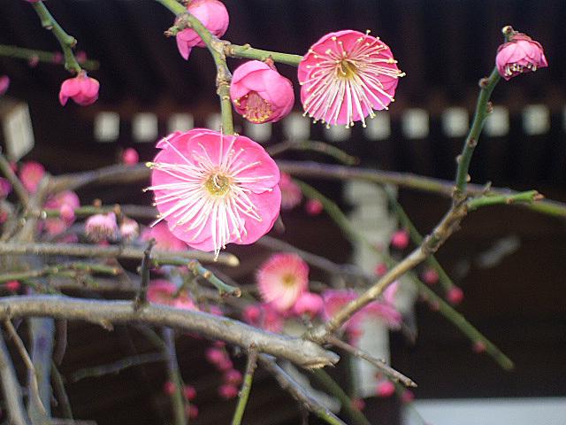 寺廟的梅樹