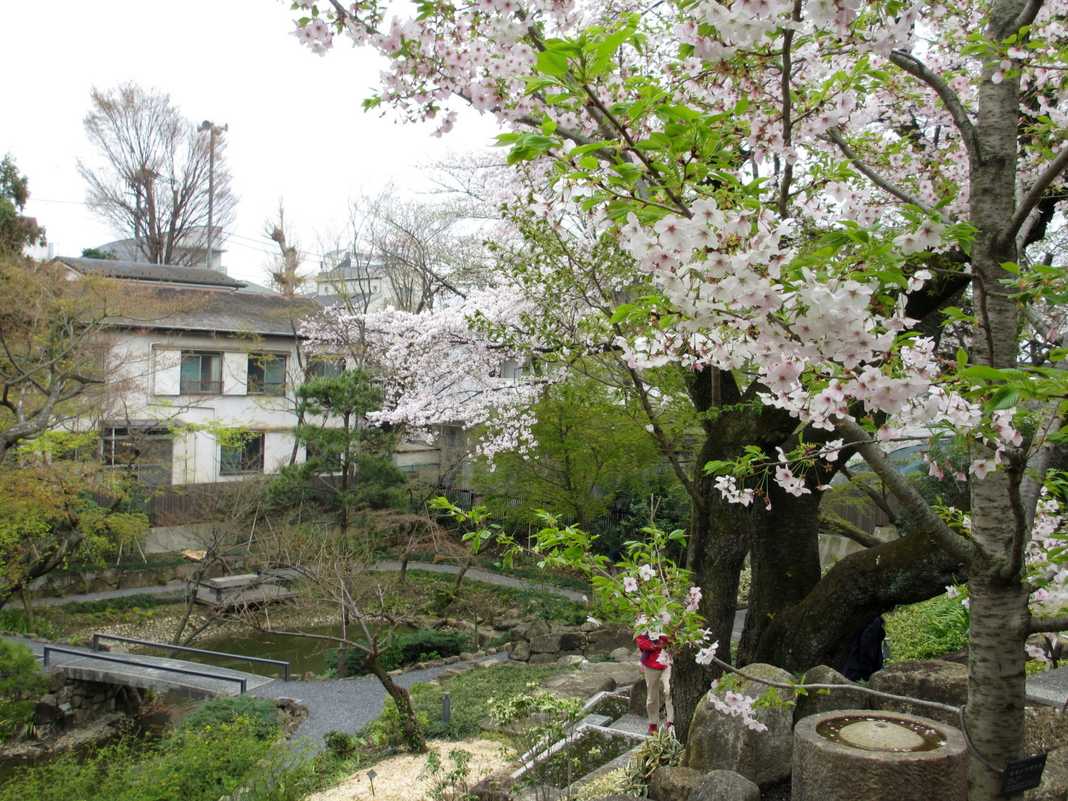 Cherry blossoms of Kouyama Garden