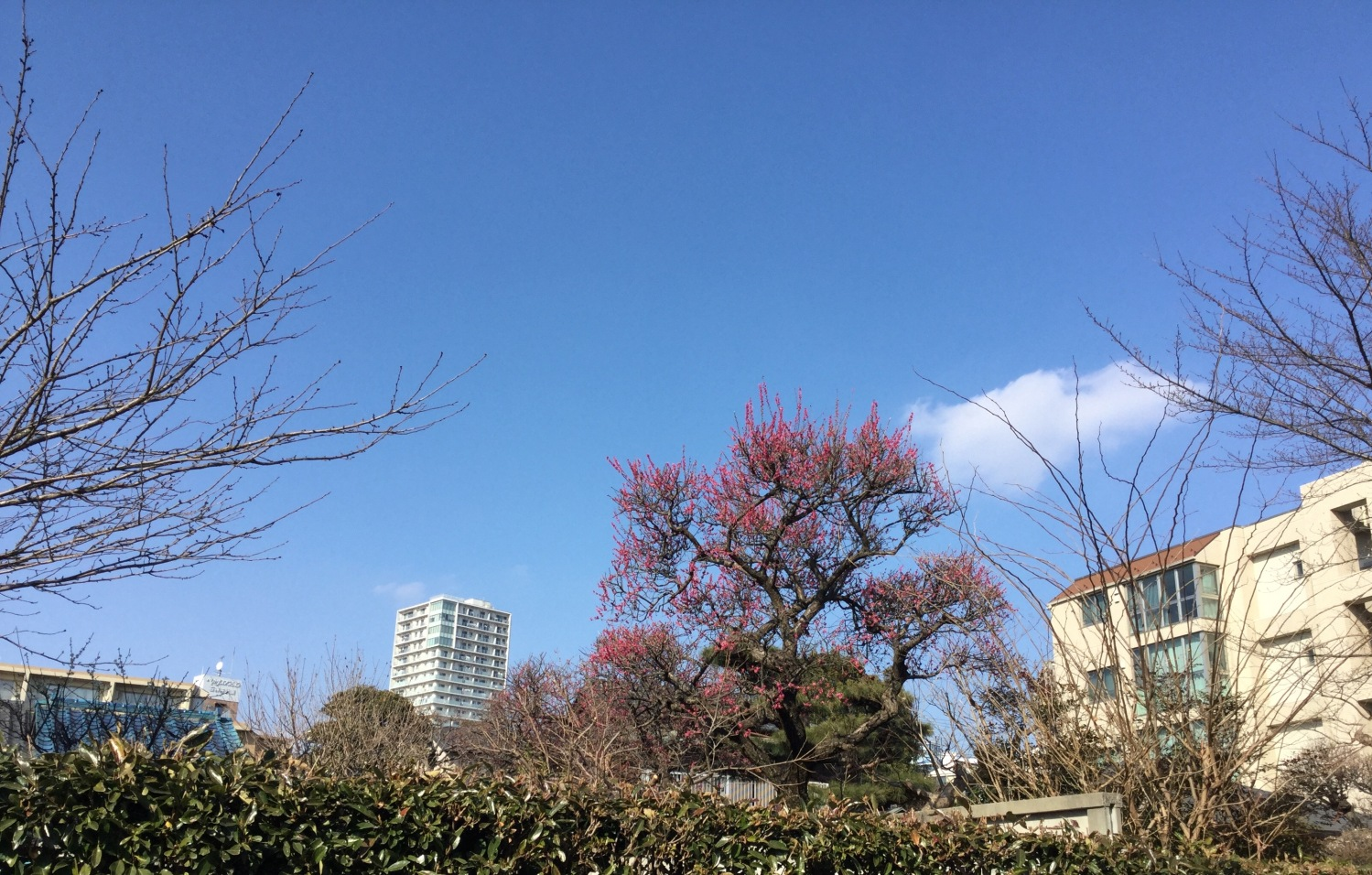 Japanese apricot with red blossoms and high-rise apartment image
