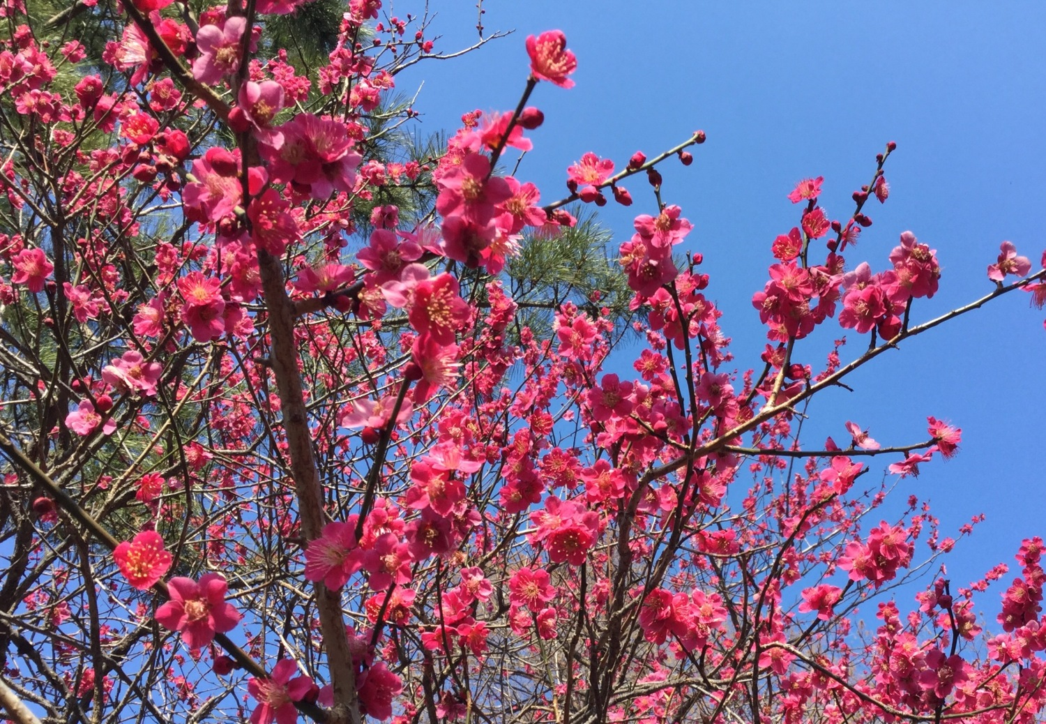 Japanese apricot with red blossoms and Kawazu-zakura image