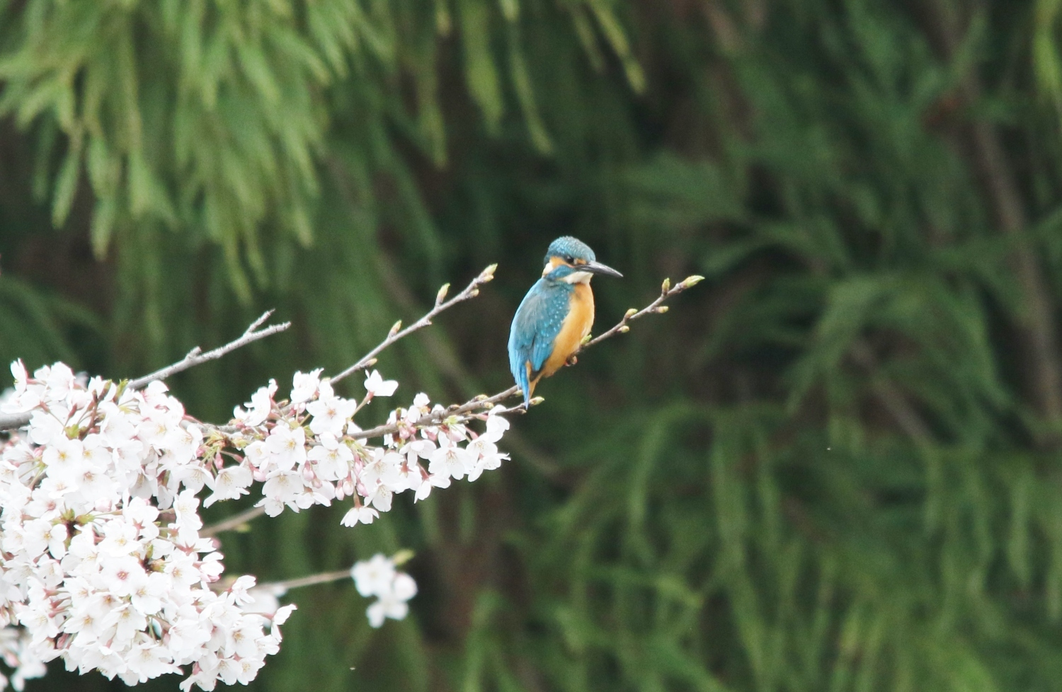 Cherry blossoms and kingfisher