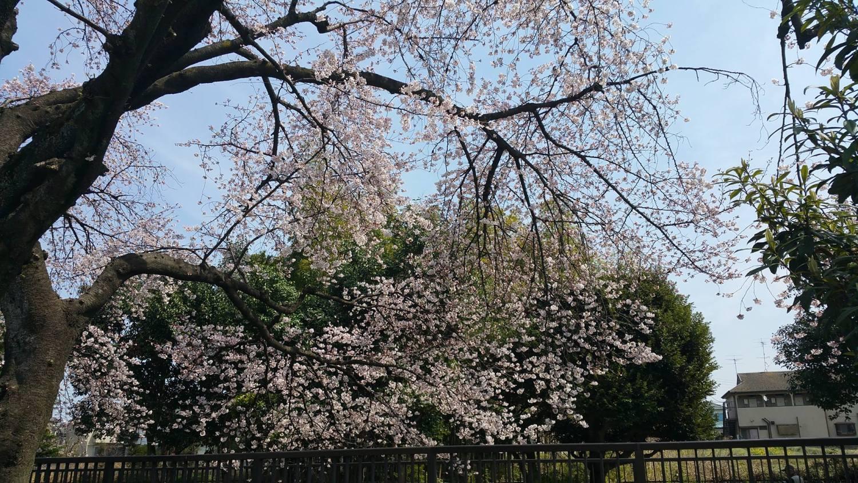 오이즈미 이가시라 공원의 벚꽃이 만개