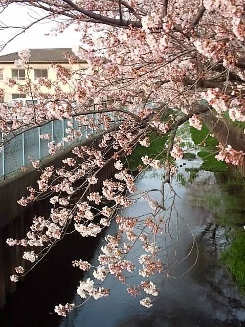 미야키 다리로부터의 벚꽃