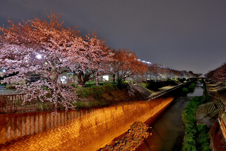 夜間櫻花! 圖片