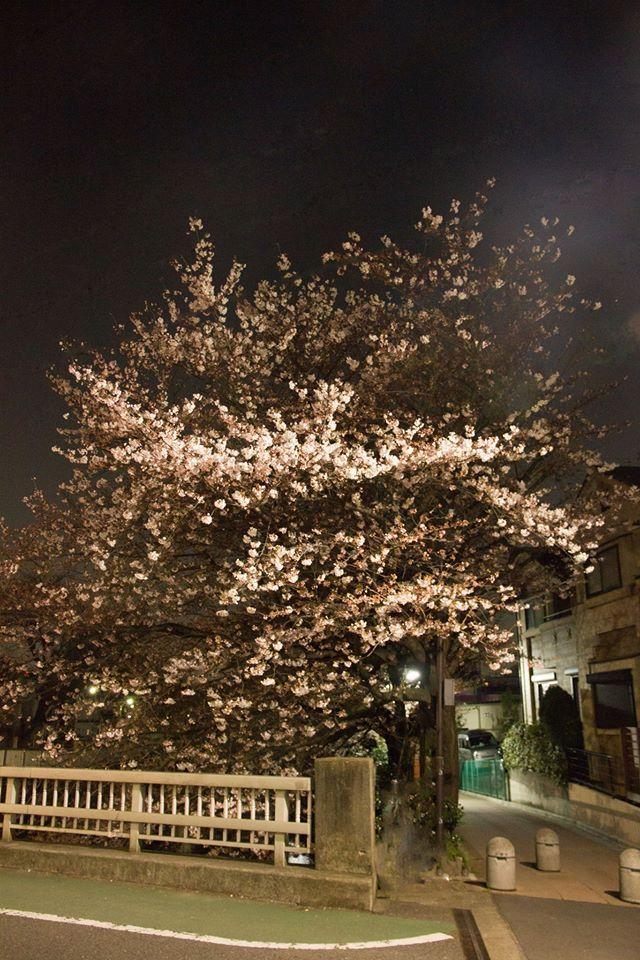 Cherry tree along the Shakujii River