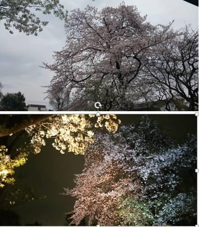 向山庭园的樱花