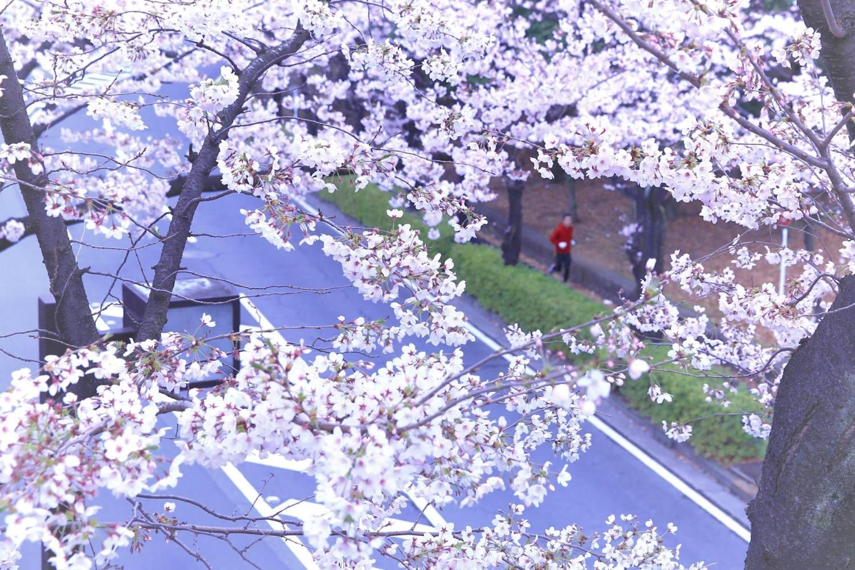 벚꽃과 러너 이미지