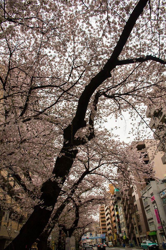 센카와길의 벚꽃