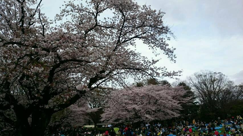 히카리가오카 공원의 벚꽃이 만개! 이미지