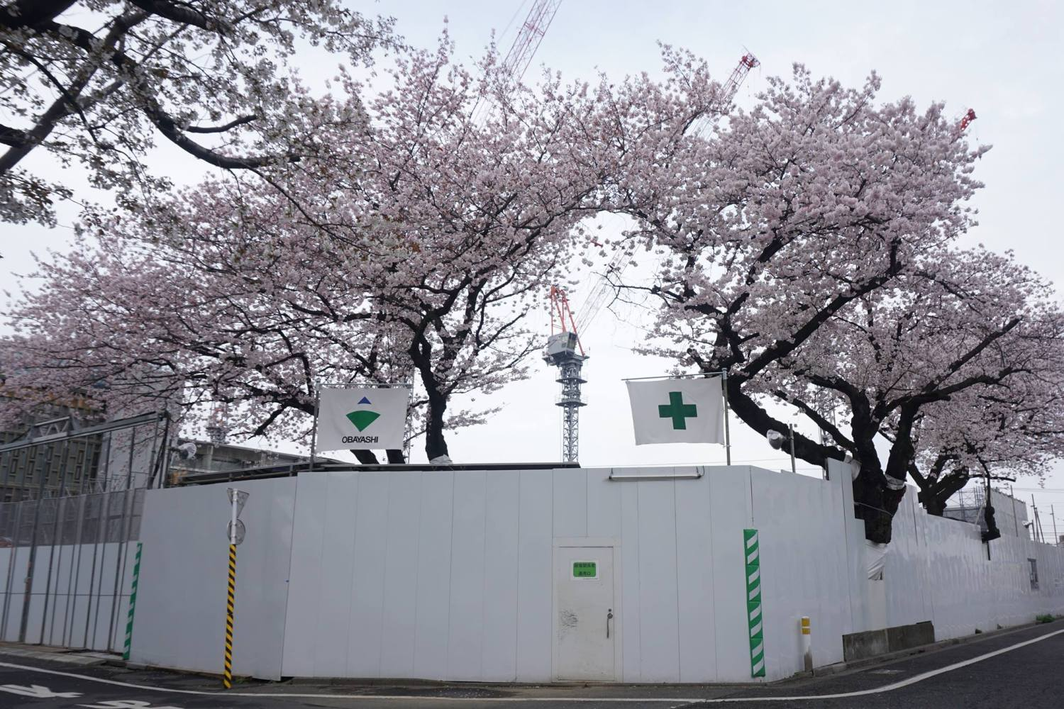 Cherry blossoms of Musashino Academia Musicae Ekoda campus