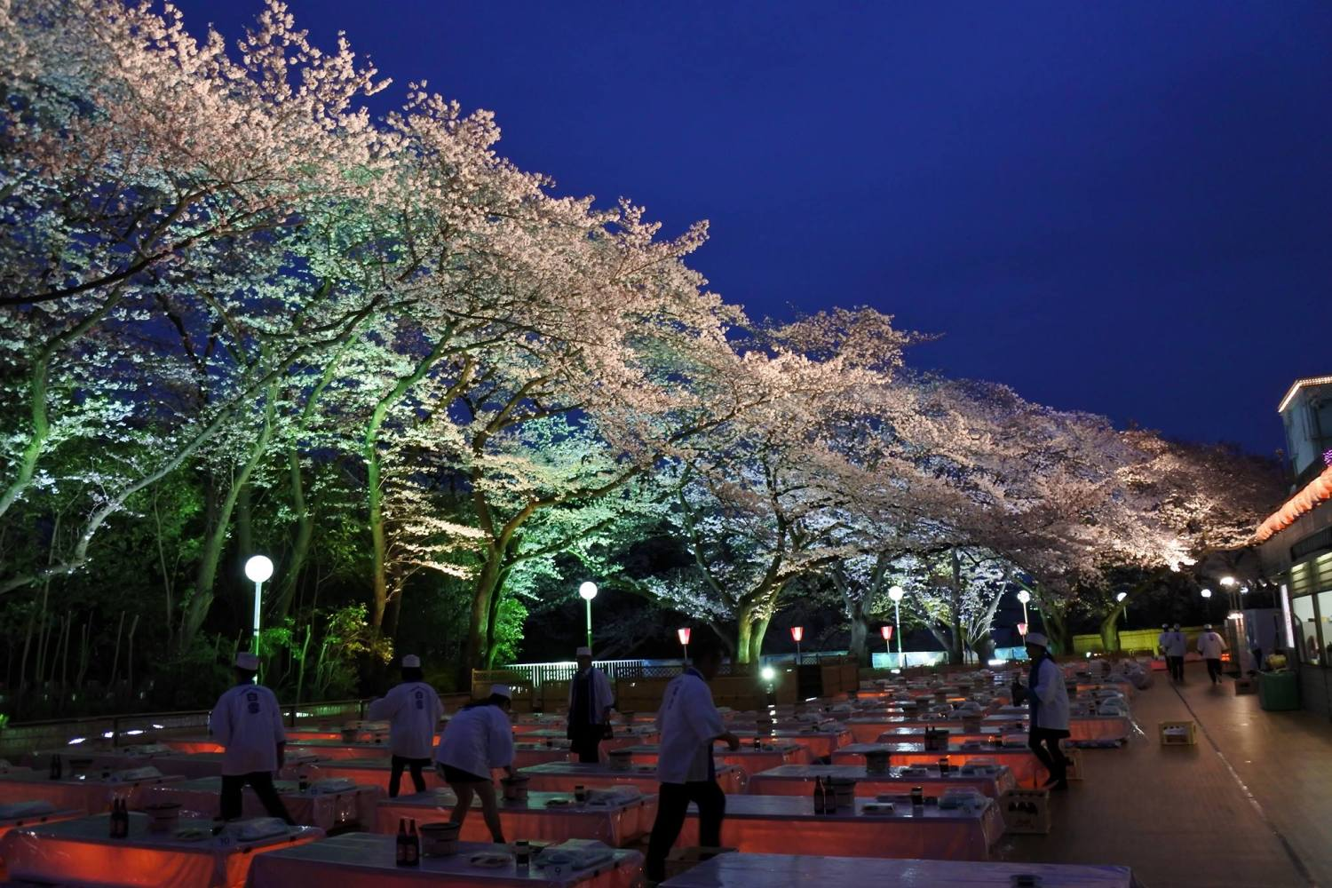 Cherry blossoms of Toshimaen