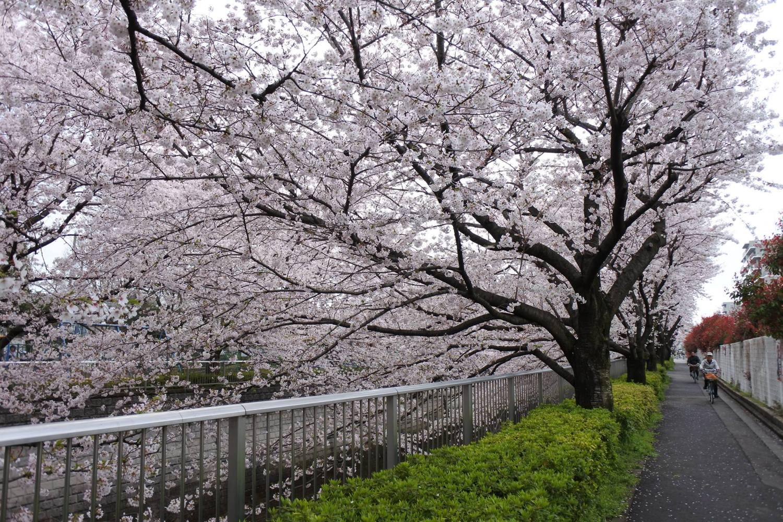 沿石神井川的櫻花