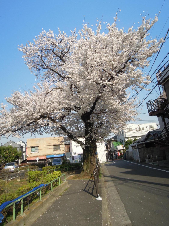 오이즈미의 1개 벚꽃