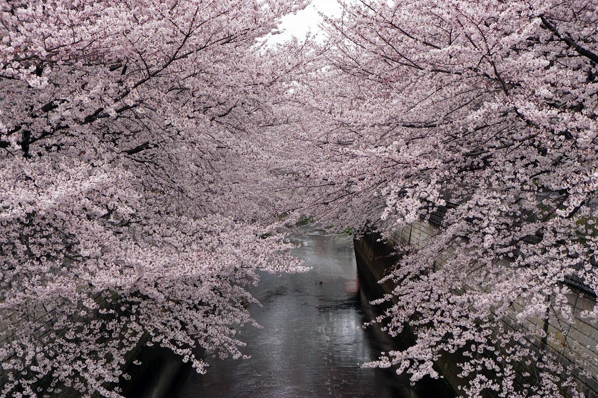 벚꽃, 요란.