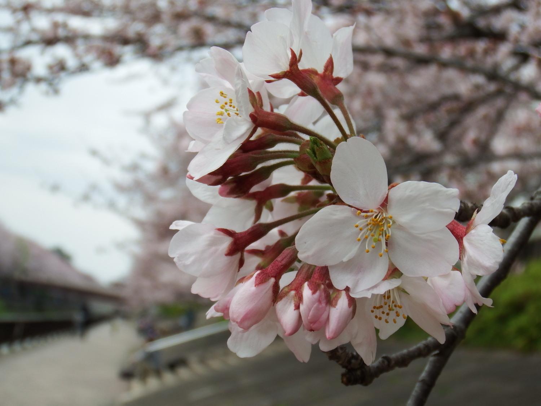 일본의 봄