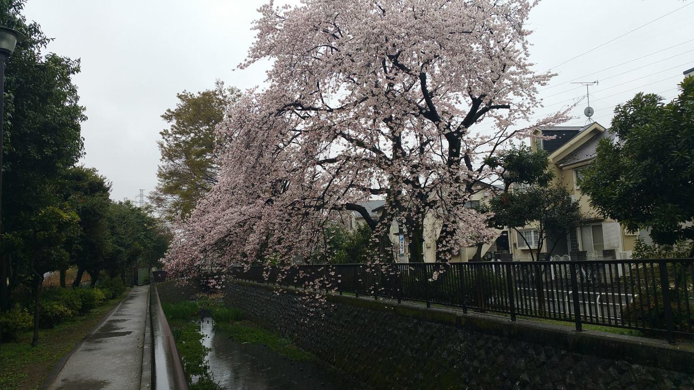 비 안의 벚꽃 이미지