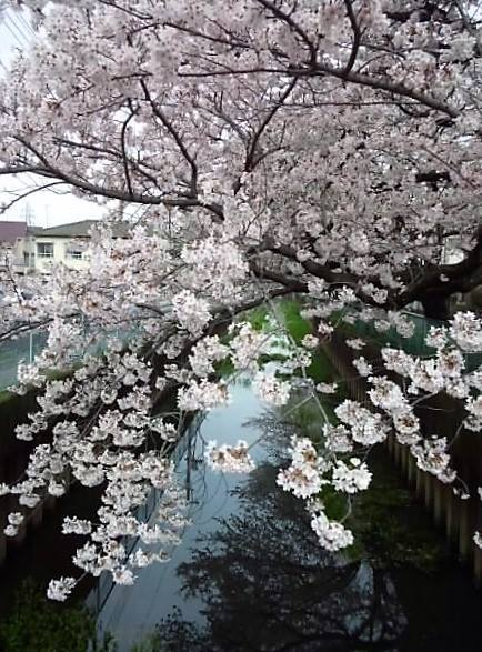 Cherry blossoms after rain