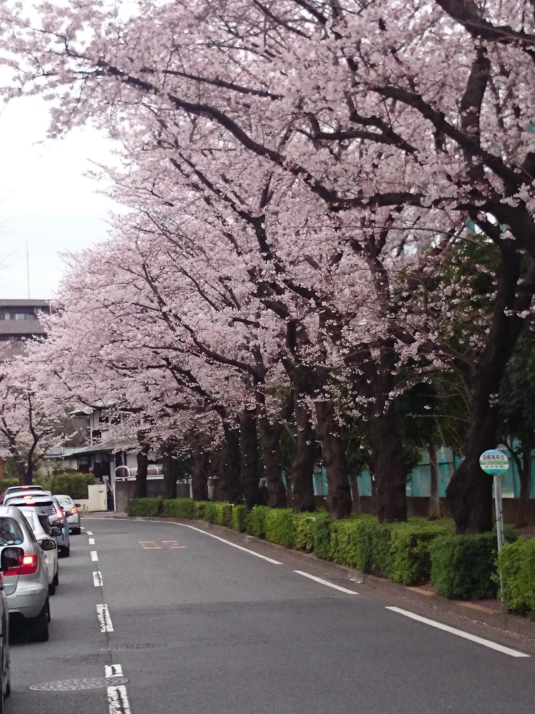 櫻花開花的新年度圖片