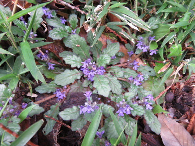 Ajuga decumbens bloomed