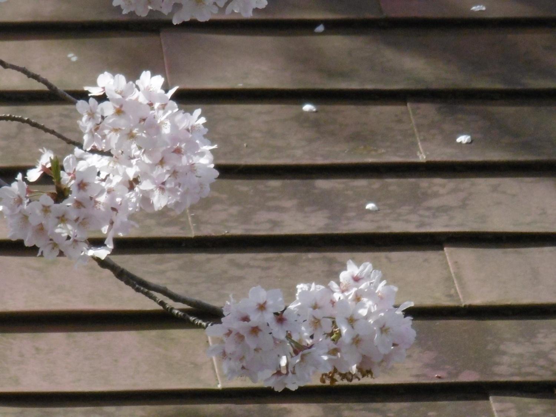 벚꽃 만개 이미지