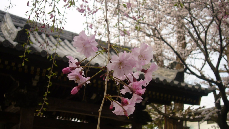 지수벚꽃 이미지