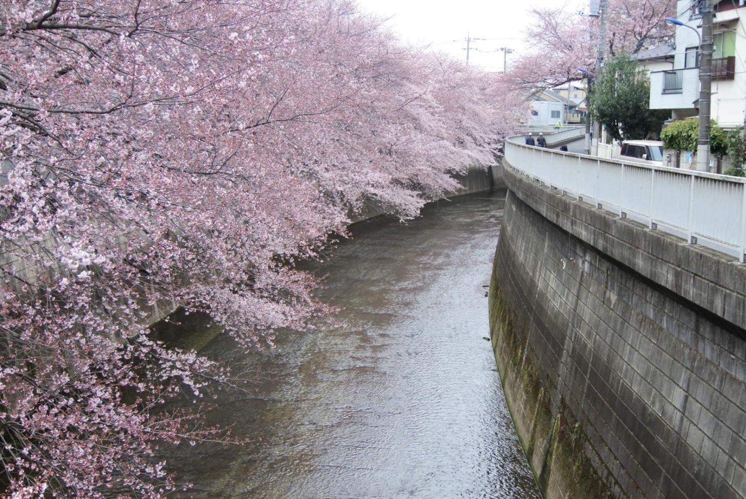 练马夸耀的樱花景点图片