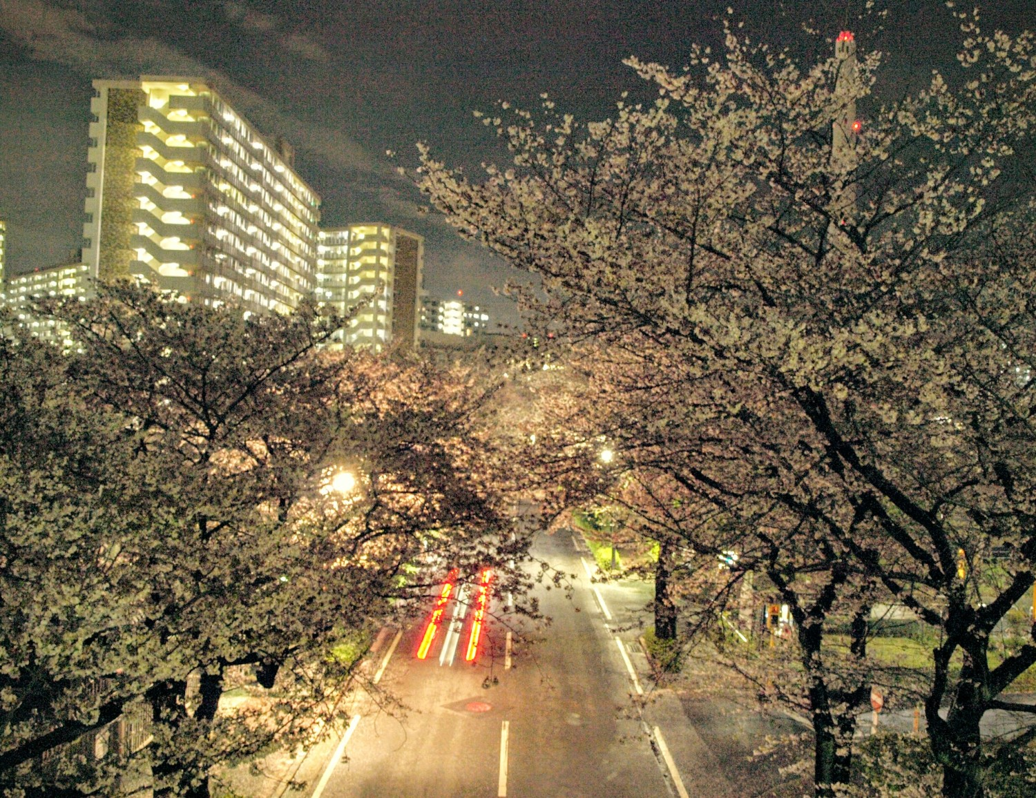 Cherry blossoms of light