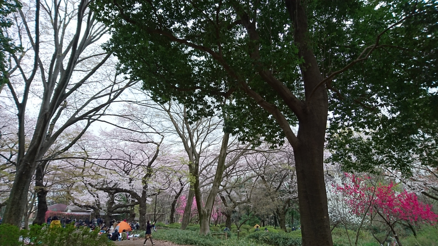 Cherry blossoms of Shakujii Park