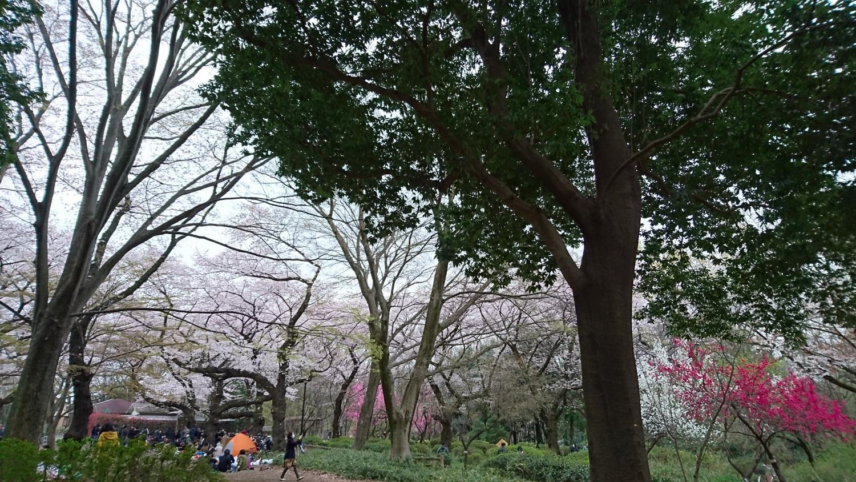 샤쿠지이코엔의 벚꽃