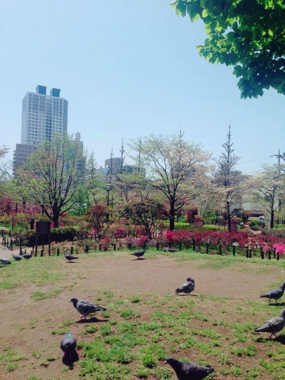 杜鹃花公园的鸽子