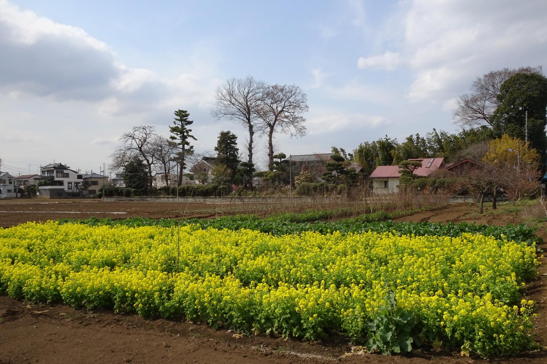 네리마의 유채꽃밭
