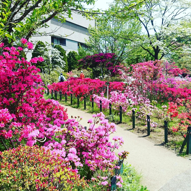 平成杜鵑花公園的杜鵑花圖片