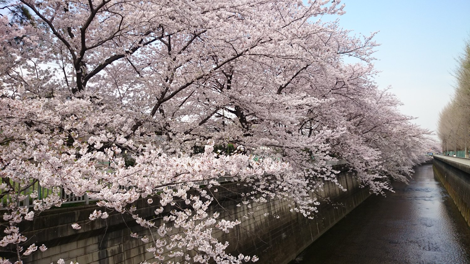Cherry blossoms of the Shakujii River