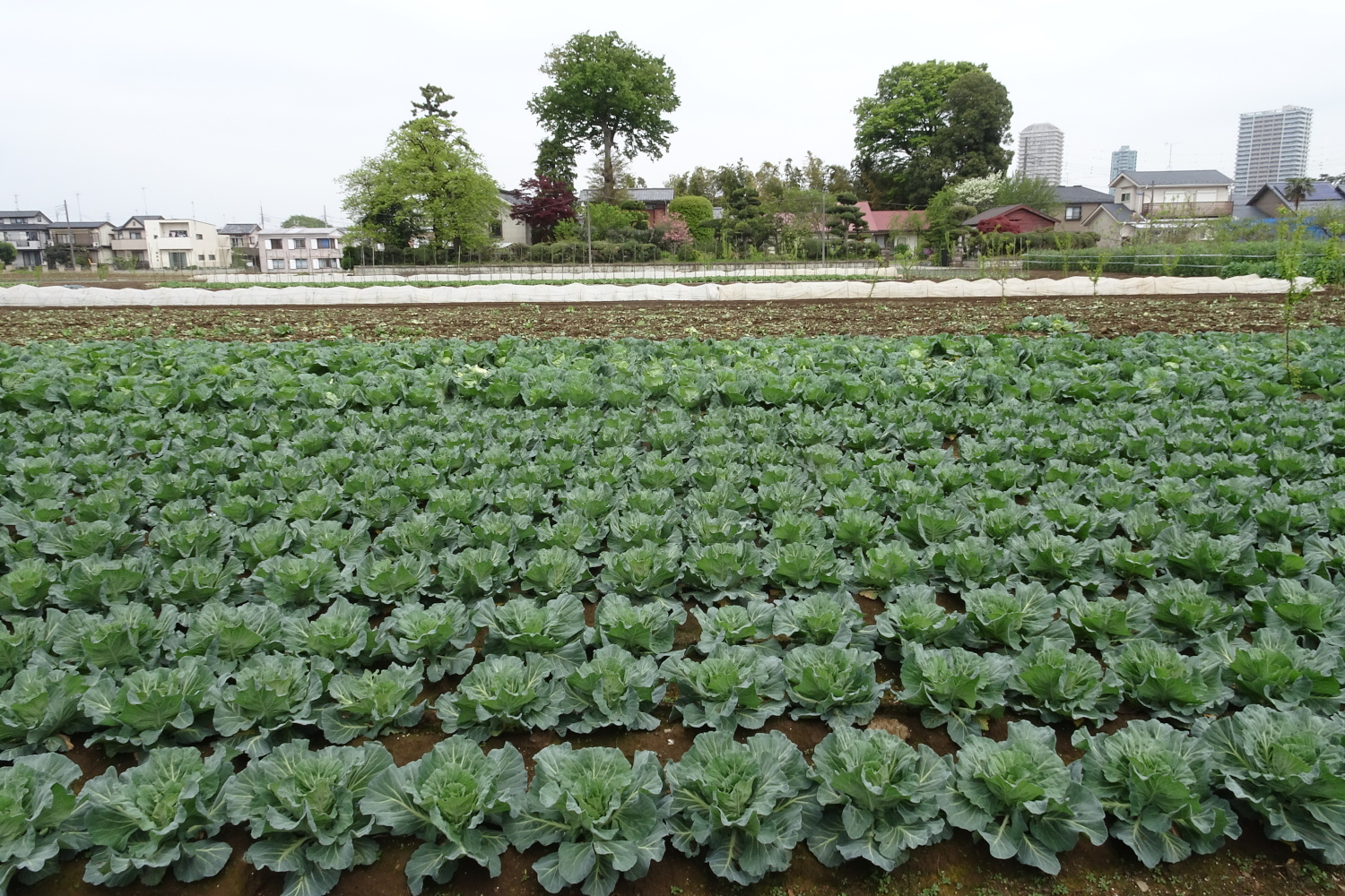 Spring cabbage of Nerima
