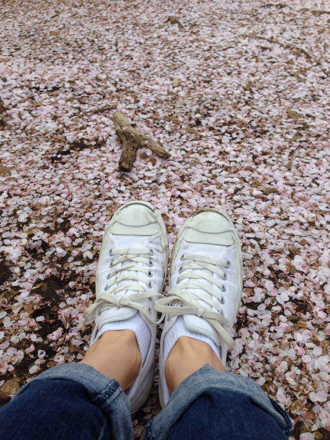 Carpet of cherry blossoms