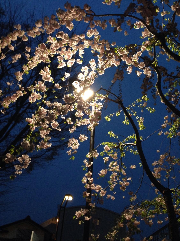 晚上的櫻花圖片
