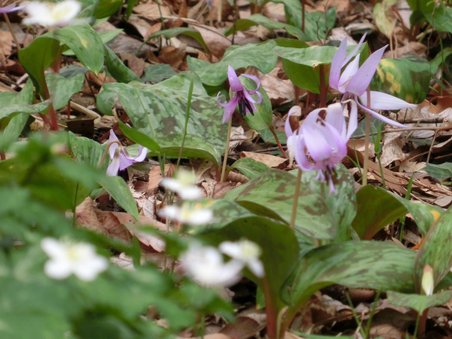 Flower of dogtooth violet blooms