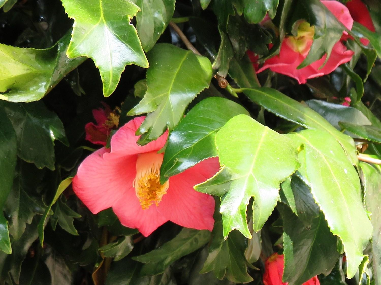 금붕어 잎 동백나무 이미지