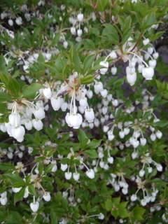 可愛的白色的花圖片