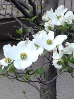 흰 미국산딸나무(?)