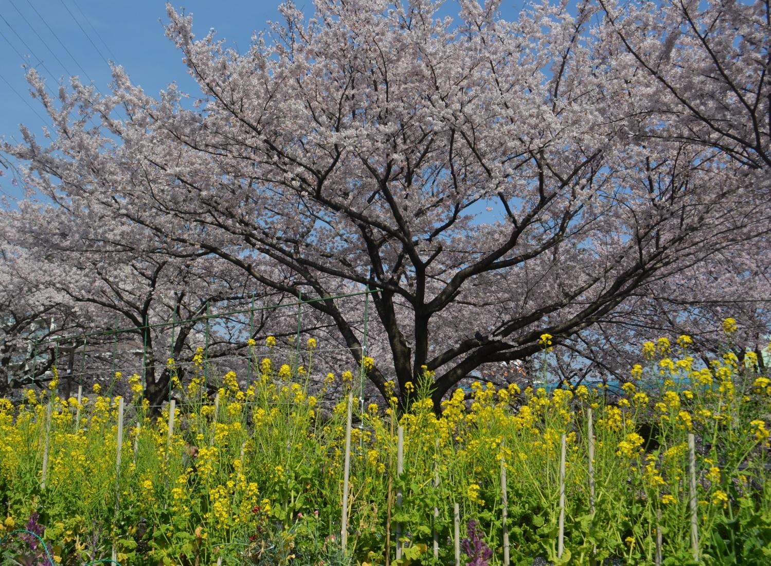 1 사쿠라바나와 유채꽃 2 꽃잎으로 노는 오리 3 헬윙기아로 노는 오리