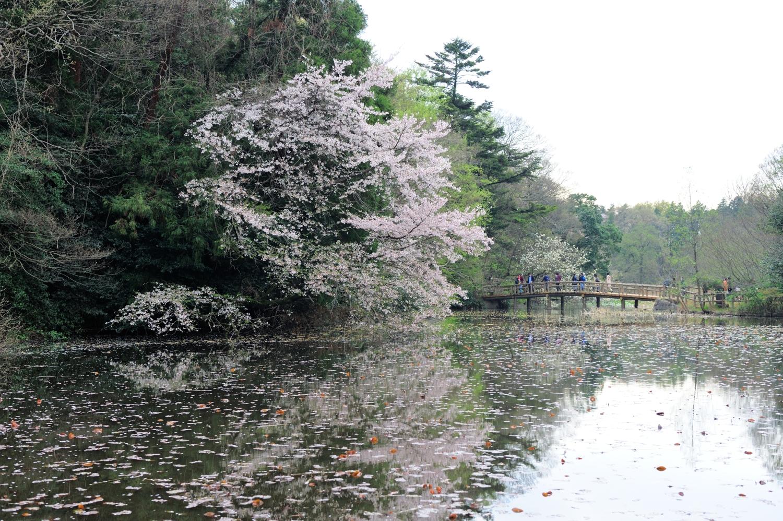 벚꽃의 봄