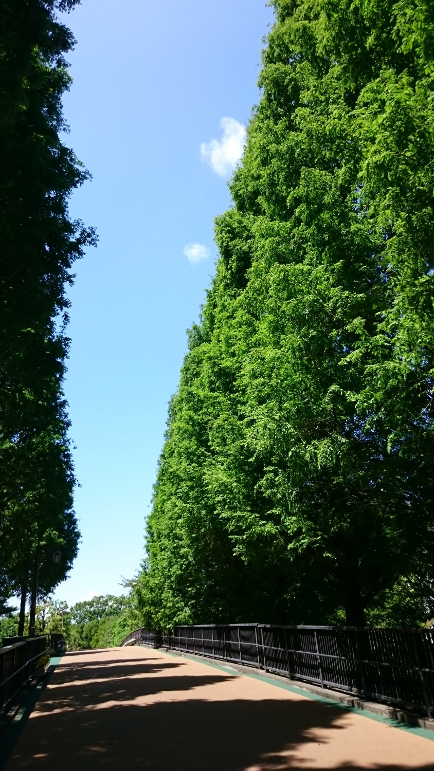 The fresh green of metasequoia