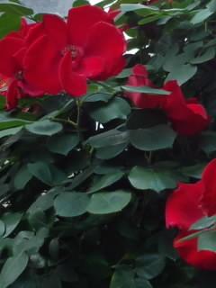 深红(深红)的玫瑰花