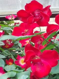 纯粹的玫瑰花