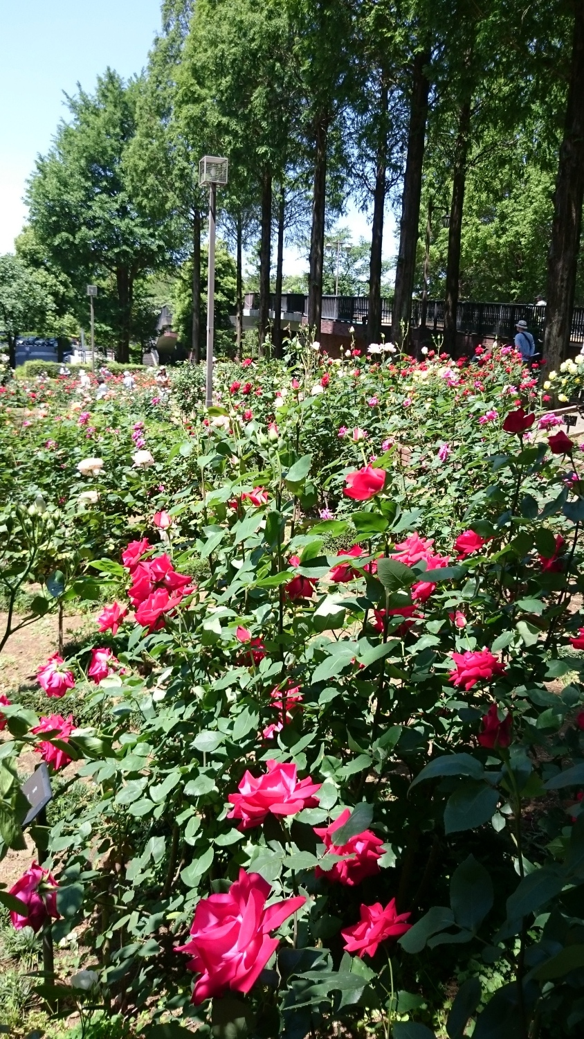 Many roses of rosary are in full bloom