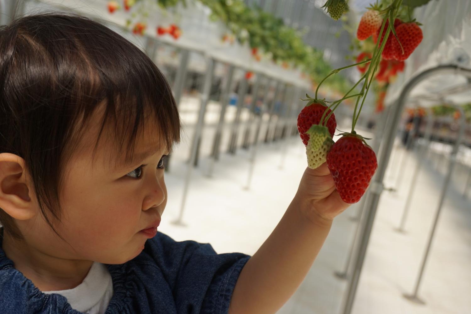 미하라다이에서 딸기 따기♪ 이미지