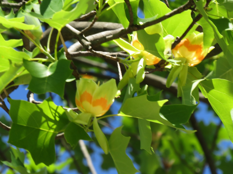 yurinoki(别名郁金香·树)蛾开花了