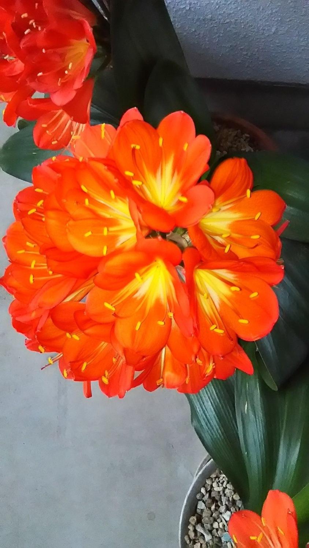 Kaffir lily